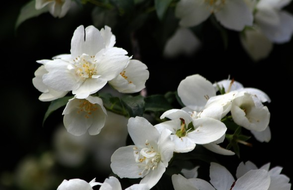 White of the Mock orange ..