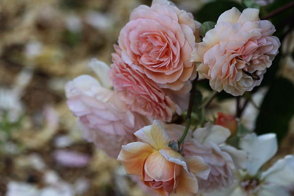My favourite scented rose , Abraham Darby