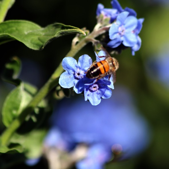 One of my favourite small flowers , the Forget me not