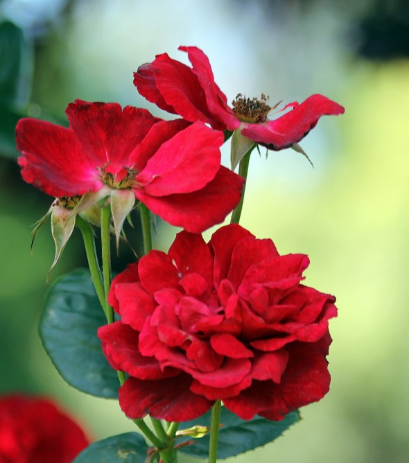 The vivid red rose is always a favourite